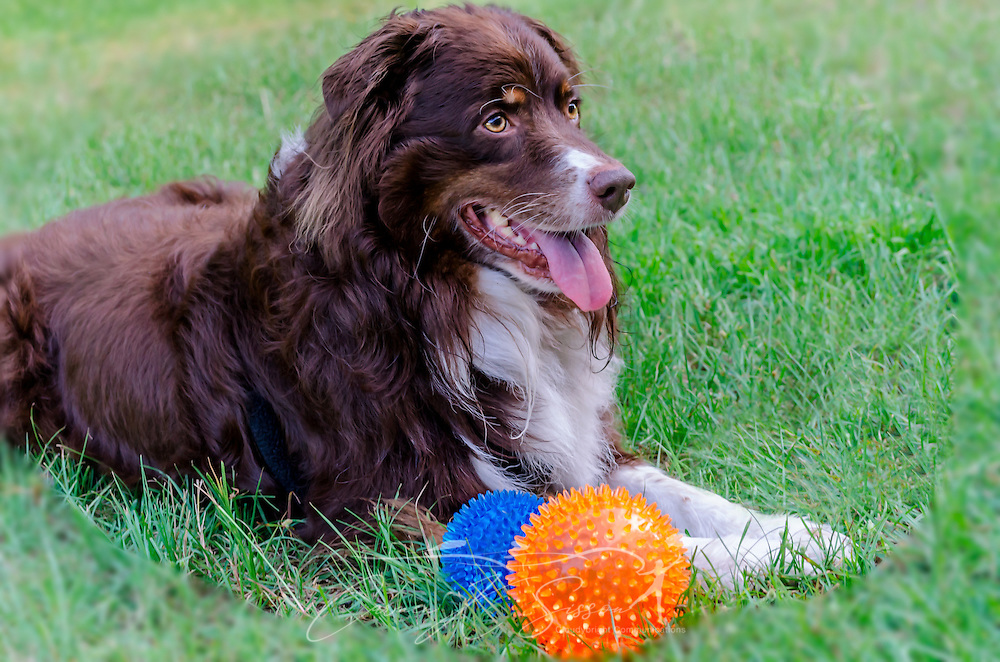 Cowboy, a six-year-old, red tri Australian Shepherd, lays in the grass as he breaks a break from playing ball, Aug. 21, 2014. (Photo by Carmen K. Sisson/Cloudybright)