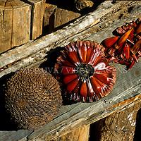 """Pinhas e pinhões, sementes de aráucaria """"Araucaria angustifolia"""". Parque da Ferradura, Canela, Rio Grande do Sul, Brasil. foto de Ze Paiva/Vista Imagens"""