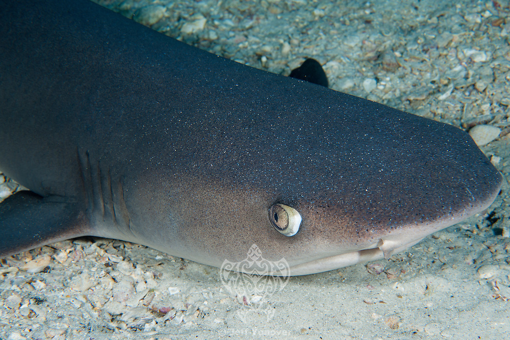 Whitetip Reef Shark portrait---note the skin detail on the head<br /> <br /> <br /> Shot at Cocos Island, Costa Rica