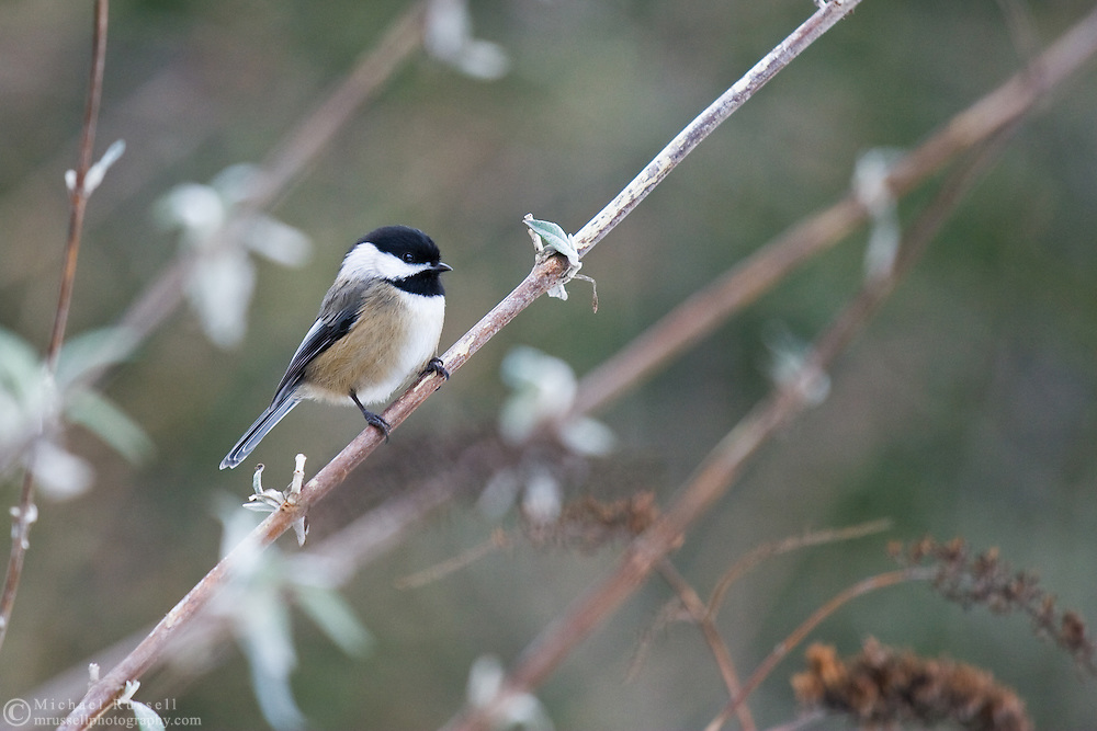 Black-capped Chickadee (Poecile atricapillus) resting on a branch in British Columbia, Canada