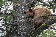 Cinnamon black bear in tree