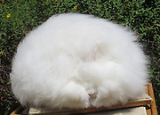 That is one bad hare day! The incredibly fluffy Angora rabbits who are so engulfed by their bushy fur you can hardly tell there is a living creature within it<br /> <br /> Yes, believe it or not there really is a rabbit underneath all that fur, although it seems to be having a very bad or very good hare day.<br /> Like a giant dust bunny, Ida the English Angora is the proud owner of possibly the worlds longest or at least softest hair for a rabbit - which can get as long as 10 or more inches.<br /> Bred and coiffed by Betty Chu, professor emeritus at San Jose State University, the rabbits tour across the state for display in shows as part of the Northern California Angora Guild.<br /> <br /> Long famed and desired for their incredibly soft fur or wool, Chu uses scissors to shear her rabbits, never once harming her fluffy friends.<br /> <br /> Incredibly, while the rabbits hair literally engulfs it, the bunny itself weighs only six or seven pounds at max.<br /> <br /> Preparing the rabbits for display is an arduous and delicate task - and Betty uses a special brush and hairdryer that doubles up a vacuum cleaner to give added volume.<br /> Her rabbits hair grows back at the rate of one inch a month and she uses the wool that she gets from her rabbits for scarves, hats and gloves.<br /> <br /> Indeed, breeding the rabbits is Chu's passion and she doesn't make any money from it and is involved in it purely for the enjoyment she gets from them as pets.<br /> ©Exclusivepix