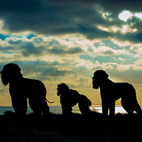 Irish Water Spaniel Dogs