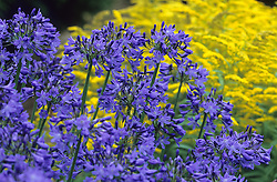 Agapanthus 'Underway' in front of Solidago 'Early Sunrise'