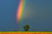 Rainbow and cottonwood tree (Populus deltoides) after a storm<br /> Dugald<br /> Manitoba<br /> Canada