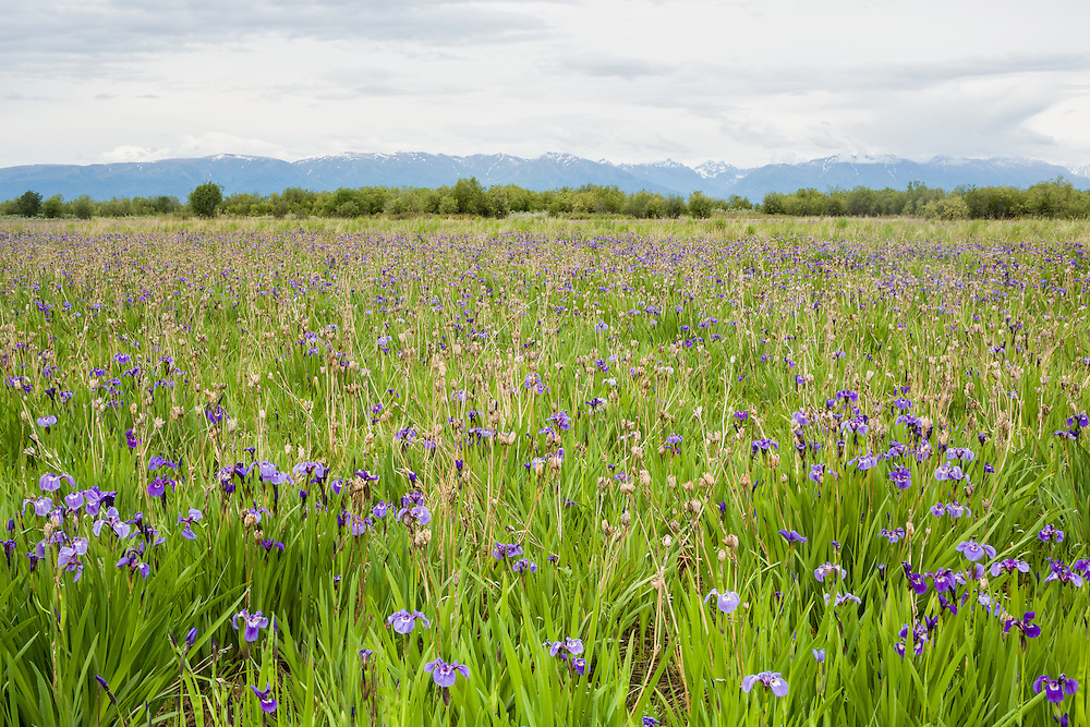 Field of Wild Irises (Iris setosa) at Eklutna Flats with Talkeetna Mountains in background in Southcentral Alaska. Spring. Afternoon.