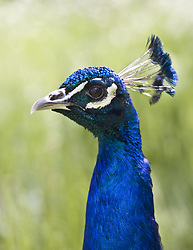 July 21, 2019 - Peacock Head (Credit Image: © John Short/Design Pics via ZUMA Wire)