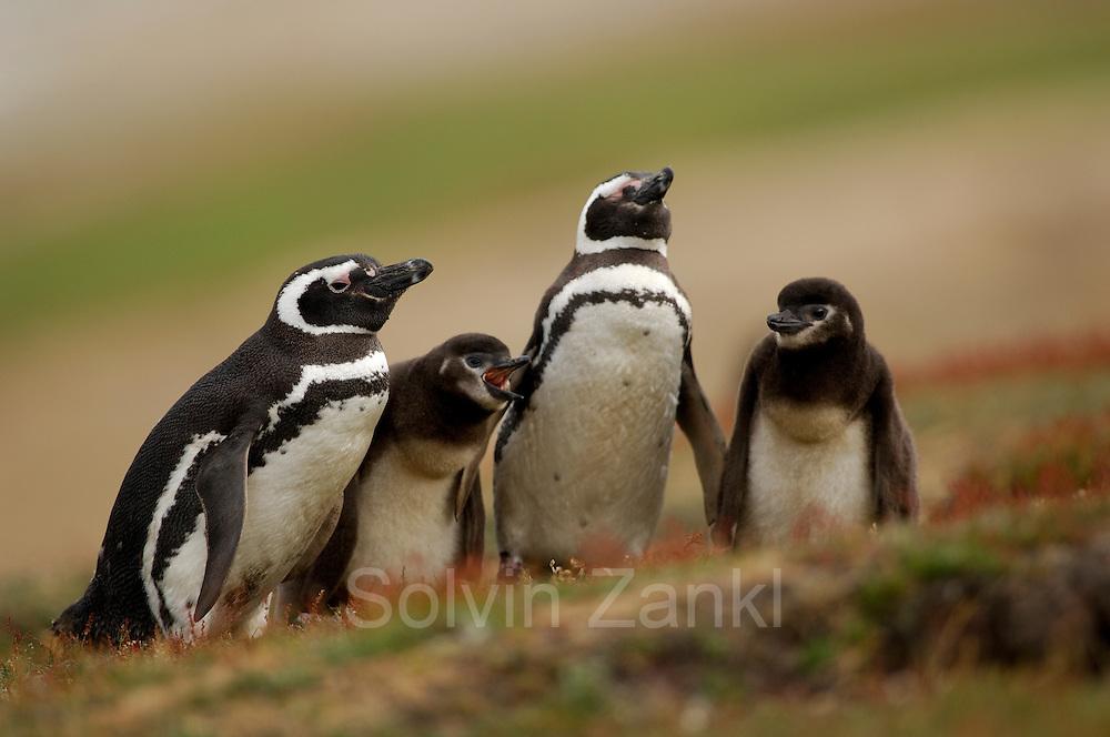 """Sind die Küken der Magellanpinguine (Spheniscus magellanicus) noch klein, werden sie recht häufig gefüttert, doch diese über zwei Wochen alten Küken müssen schon zwei bis drei Tage auf ihre nächste Mahlzeit warten. Die Altvögel treffen bei der Wachablösung aufeinander und verweilen nur kurz zu zweit bei dem Nachwuchs.   Smaller chicks of the Magellanic penguin (Spheniscus magellanicus) are frequently fed, but these more than two weeks old chicks must wait for two to three days for their next meal. The parents meet for only a short time during the """"changing of the guard""""."""
