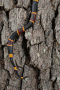 Coral snake , Micrurus fulvius, showing tail climing up live oak tree, (possible pregnancy) Florida, controlled, wild