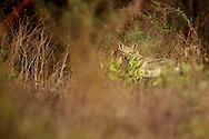 golden jackal, Senegalese jackal, Canis aureus anthus