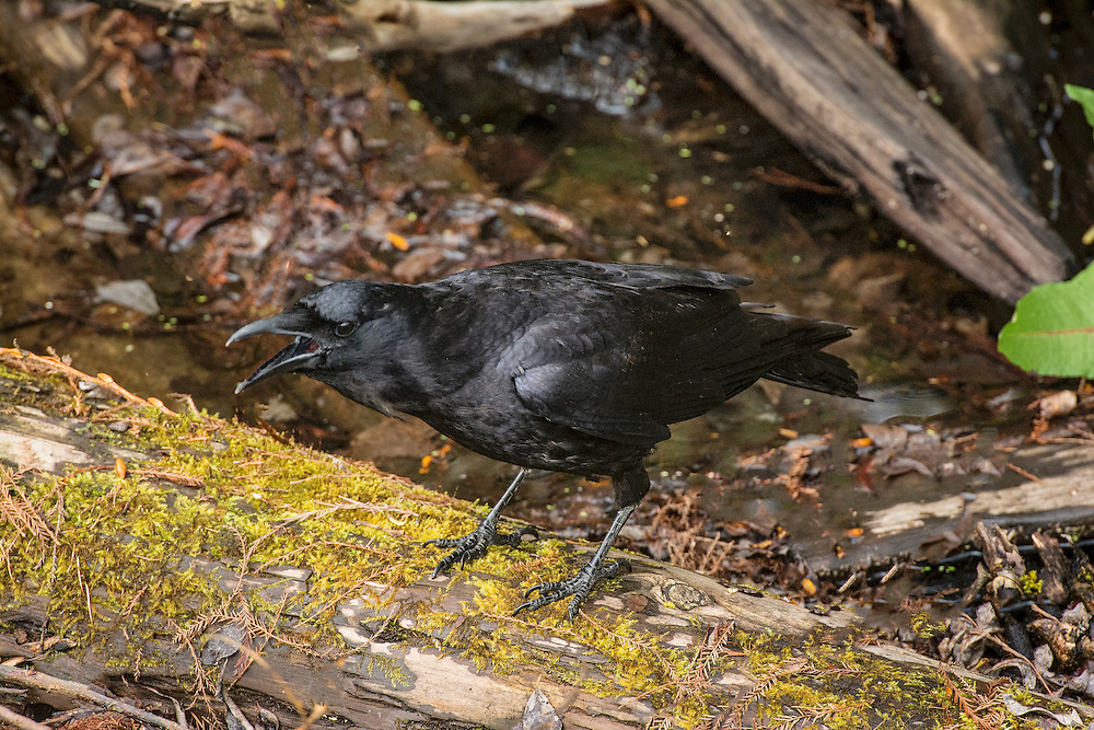 "A crow is a bird of the genus Corvus, or more broadly as a synonym for all of Corvus. The term ""crow"" is used as part of the common name of many species. Species with the word ""crow"" in their common name include:"