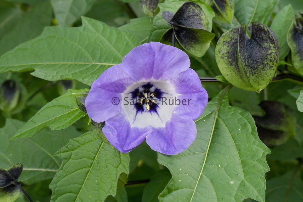 Nicandra physalodes - shoo-fly plant
