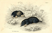 The Common Mole (Talpa europea), 1828. Small burrowing mammal with distribution from Britain to Japan. From 'British Quadrupeds', W MacGillivray, (Edinburgh, 1828), one of the volumes in William Jardine's Naturalist's Library series. Hand-coloured engraving.