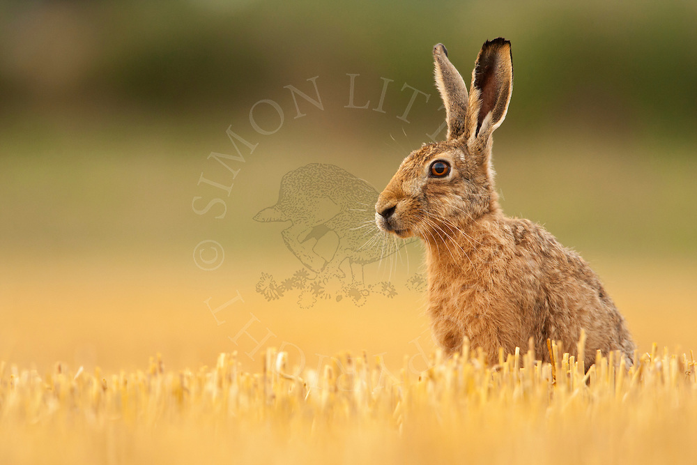 European Hare (Lepus europaeus) adult in barley stubble, Norfolk, UK.