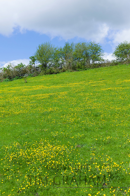 Buttercups wildflowers, Ranunculus, in meadow slope at Swinbrook in the Cotswolds, Oxfordshire, UK