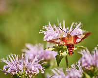 Hummingbird Clearwing Moth (Hemaris thysbe) feeding on a Lemon-Mint (Bee Balm). Image taken with a Leica SL2 camera and 90-280 mm lens.