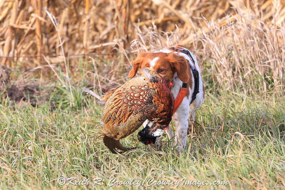 Brittany Spaniel afield during a pheasant hunt in South Dakota