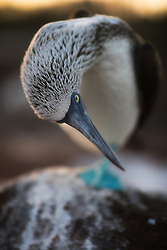 Blue-footed Booby (Sula nebouxii) at the Galapagos Islands
