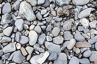 Common Periwinkle and Dog Whelk shells scattered among beach stones on Mount Desert Island, Maine.
