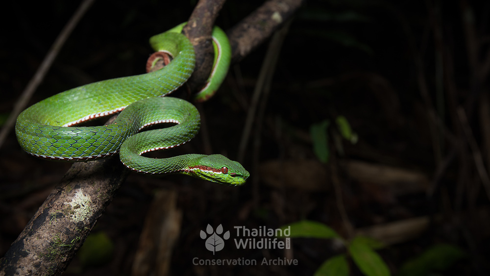 Pope's Pit Viper (Trimeresurus popeiorum) male in Nan, Thailand