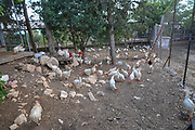 free range chickens in an enclosure. Photographed in Kibbutz Harduf, Israel