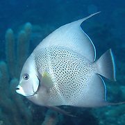 Gray Angelfish inhabit shallow patch reefs and surround areas in Tropical West Atlantic; picture taken  Grand Cayman.