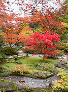 Japanese maples turn red and orange by a garden stream in autumn. The Seattle Japanese Garden was completed in 1960 within UW's Washington Park Arboretum. Address: 1075 Lake Washington Blvd E, Seattle, Washington 98112, USA. The image was stitched from 6 overlapping photos.
