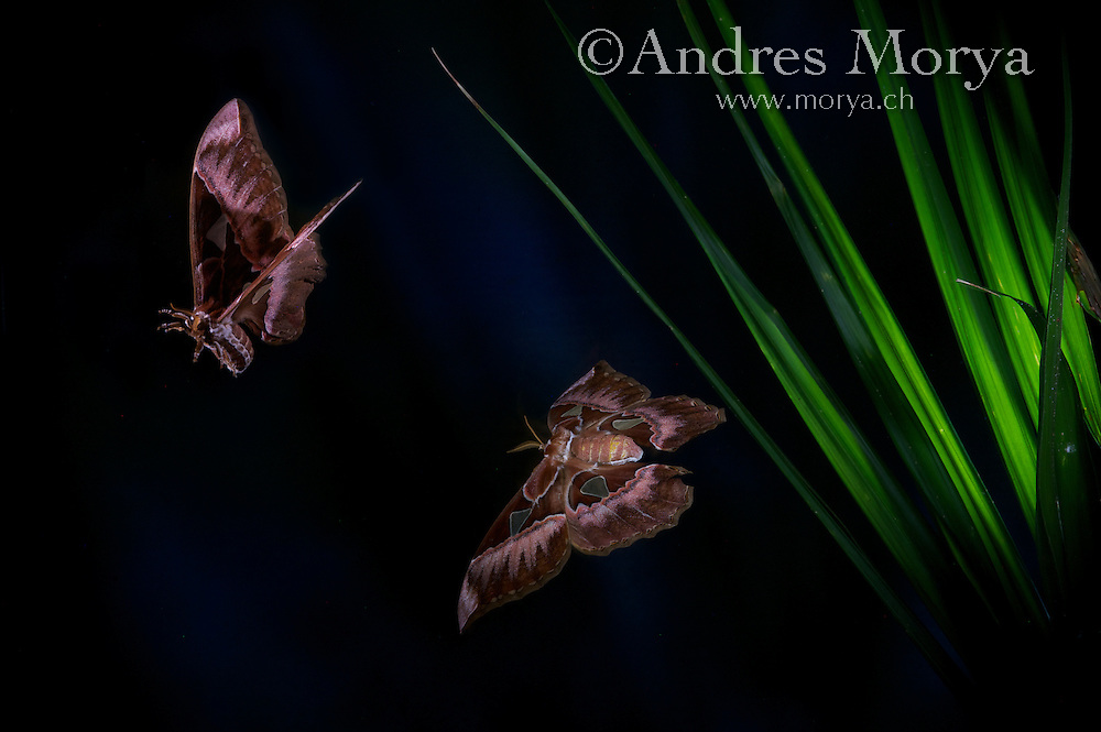 Peruvian saturnid moths in flight (Rothschildia aurora), Peru, South America.<br /> Insects in flight, high speed photographic technique. Image by Andres Morya