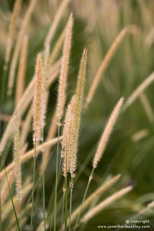 Pennisetum macrourum. African feather grass