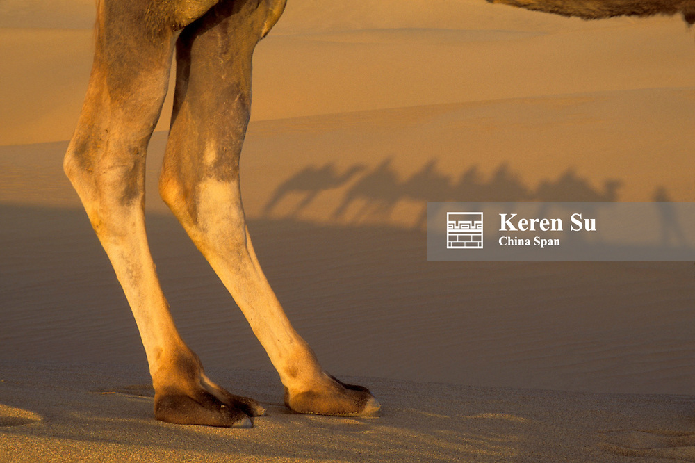 Camel's legs with shadow of caravan on sand, Taklimakan Desert, Xinjiang Province, Silk Road, China