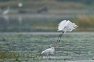Great white egret, Ardea alba or Egretta alba or Casmerodius albus, Nansha wetland reserve, Guangdong province, China