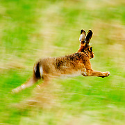 Hare OXON UK 2006