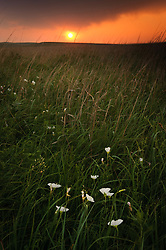 Evening sunset light bathes showy evening primrose in prairie grasses at the 10,894-acre Tallgrass Prairie National Preserve in the Flint Hills of Kansas in Chase County near the towns of Strong City and Cottonwood Falls. Less than four percent of the original 140 million acres of tallgrass prairie remains in North America. Most of the remaining tallgrass prairie is in the Flint Hills in Kansas. Tallgrass Prairie National Preserve is the only unit of the National Park Service dedicated to the preservation of the tallgrass prairie ecosystem. The Tallgrass Prairie National Preserve is co-managed with The Nature Conservancy.