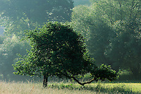 Apple Tree in the Morning Mist, Mullerthal trail, Mullerthal, Luxembourg