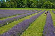 Judy Roemer takes pictures with her phone in a lavender field on Washington Island in Door County, Wisconsin.  Mike Roemer Photo