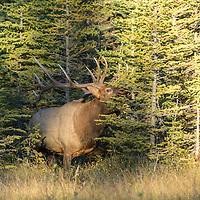 bull elk in fir trees