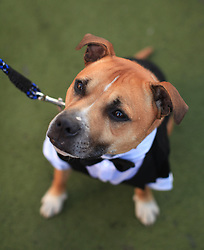 © Licensed to London News Pictures. 17/06/2014. London, UK. Sian James and her Staffordshire Bull Terrier, Frankie, take part in the Cannt Crufts annual dog show at the Queen of Hoxton's rooftop, east London. Photo credit : LNP