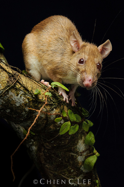 The Brown Spiny Rat (Maxomys rajah) is found in lowland rainforests where it forages for food on the ground and in low vegetation.  This albino specimen was captured during a small mammal study.