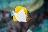 Hemitaurichthys polylepis (Pyramid butterflyfish)