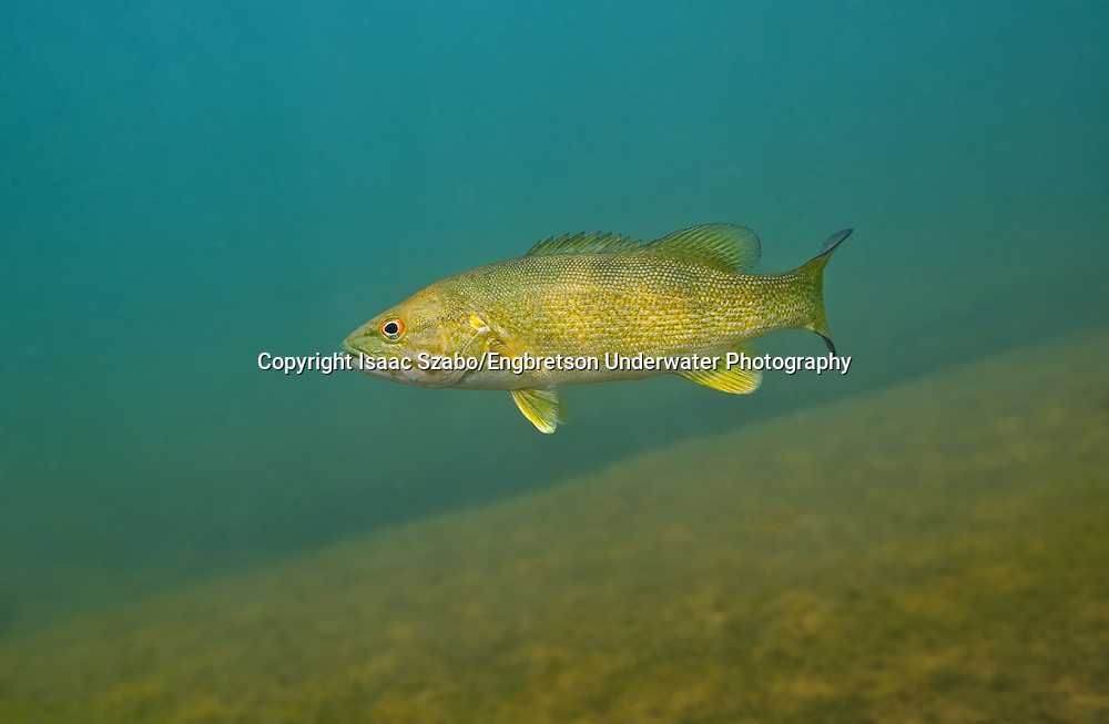 Smallmouth Bass <br />