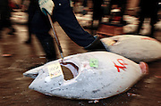 "An employee at the world's biggest fish market in Tsukiji, Tokyo drags off large tuna during auctioning at the market. More than 2,300 tons of fish -- about one-third of the total consumed in Japan -- passes through Tsukiji each day and the market offers more than 450 varieties of marine products. The market, which dates back almost 75 years, is slated to move to a high-tech site on a man-made island in Toyosu, which is well-documented as being contaminated with benizine. Not that Tsukiji is much better off -- many buildings in the aging site are stuffed with asbestos. ""Choose your poison,"" says one Tsukiji official. The new site, which the government plans to be readied by 2012, will be significantly larger, with more room for off-loading and for sellers to display their goods. The current location, says one official, is too cramped and collisions between motorised carts and pedestrians means accidents occur almost daily. Meanwhile, with fish sales down, it is becoming more difficult to justify Tsukiji's prime location and property developers are keeping a close watch on Tsukiji land, which is just a few blocks from the ritzy Ginza district of Tokyo, where per-meter land prices are among the highest in the world...The move to the new Toyosu location, meanwhile, has been at the center of heated debate -- clean-up operations alone are estimated to cost ¬?67 billion (around US$660 million), with a further ¬?450 billion to build a new marketplace. Big wholesalers favour the move, but the 1,600-plus merchants mostly are against it. Yoshiharu Kikuraku, a Tsukiji storeowner who began working at the market 60 years ago, expresses bewilderment at the plans, saying that the name Tsukiji itself has become synonymous with the world's best and most eclectic selection of fish. ""This place has a long tradition. Why break it and start from scratch all over again?"" he says."