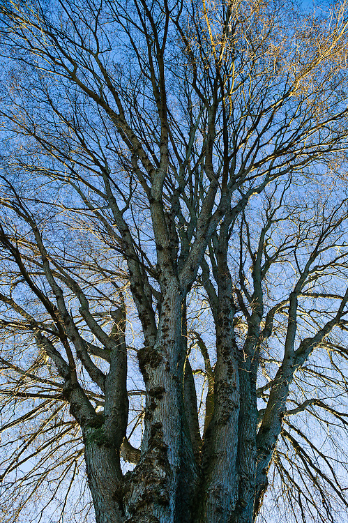 """Spread"" - Fine Art Limited Edition Print. 20 Prints. Tree on Queen Anne Hill, Seattle, Washington."