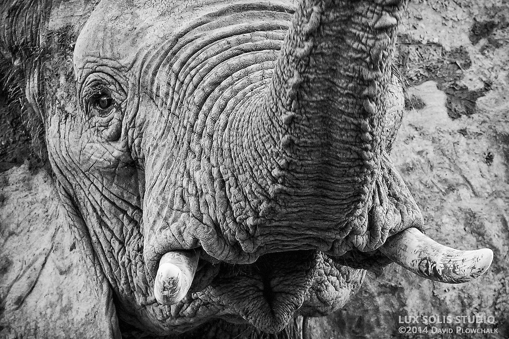 Close encounter with a young bull elephant in Mana Pools, Zimbabwe.
