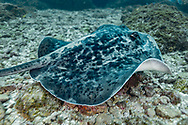 Blackblotched stingray-Raie pastenague noire (Taeniura meyeni), indian ocean, South Africa.