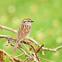 Chipping Sparrow. Summer Nature in New Jersey. Image taken with a Nikon D3x and 600 mm f/4 VR lens (ISO 400, 600 mm, f/4, 1/50 sec) on a tripod, VR-ON, Mirror-UP. Raw image processed with Capture One Pro 6, Nik Define 2, and Photoshop CS5.