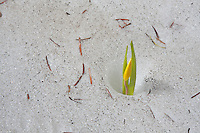 Glacier Lily (Erthronium gradiflorum) emerging from a snow bank in late spring.  Snowy Range Mountains, Wyoming.