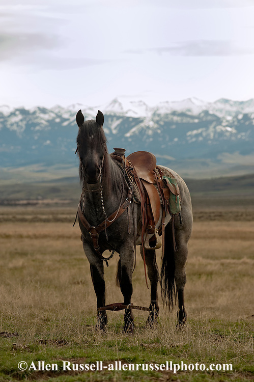 Blue Roan Quarter Horse hobbled at branding, Wilsall, Montana, Crazy Mountains,<br /> PROPERTY RELEASED