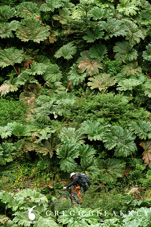 Don Thomas cycles through a rhubarb forest on the Carretera Austral, just south of Pumalin Park. Chile - South America