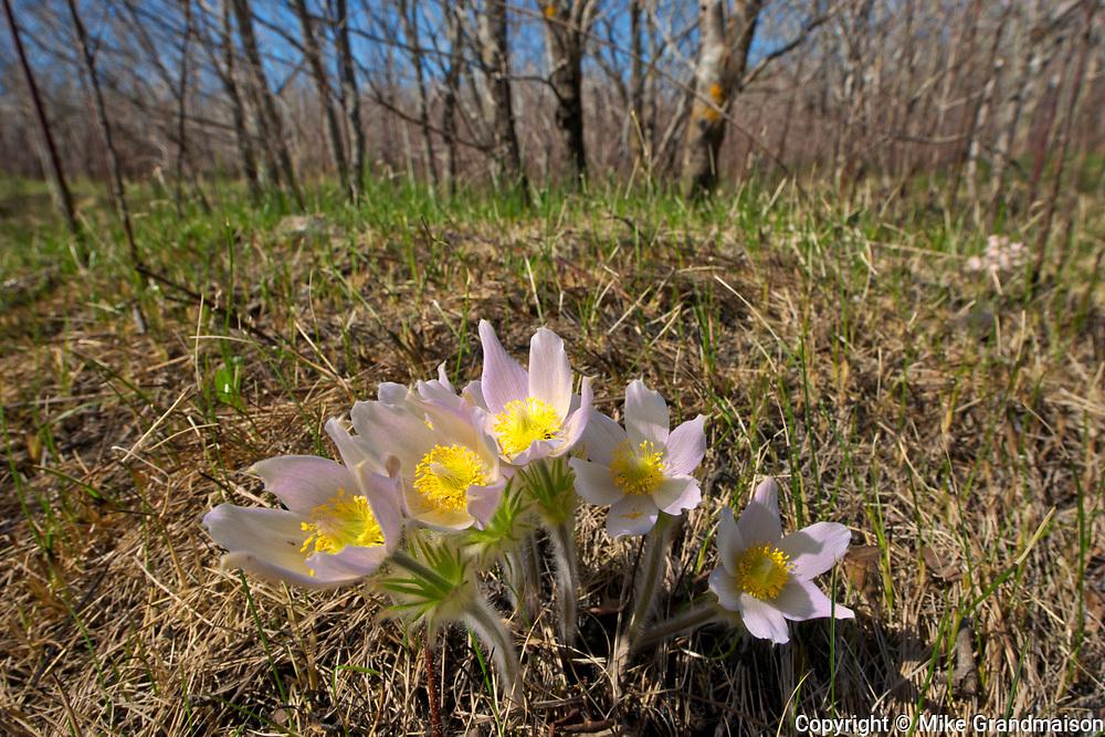 Paririe crocus in spring. (Anemone patens). LIttle Mountain Park<br />Winnipeg<br />Manitoba<br />Canada