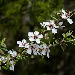 New Zealand teatree, Leptospermum scoparium
